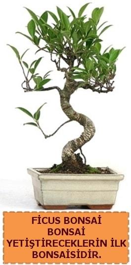 Ficus bonsai 15 ile 25 cm arasındadır  Kıbrıs çiçekçi telefonları