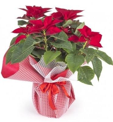 Atatürk çiçeği saksı bitkisi  Kıbrıs çiçek gönderme