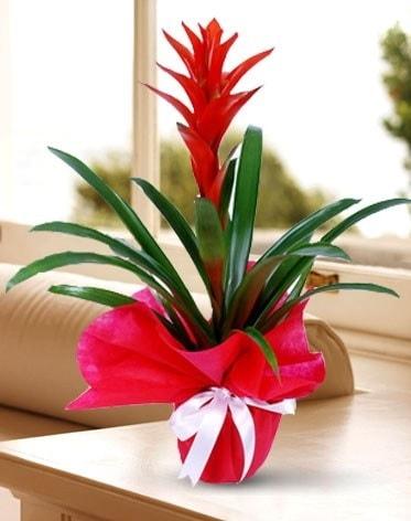 Guzmanya Saksı Çiçeği  Kıbrıs çiçekçi telefonları