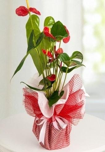 Anthurium Saksı Çiçeği  Kıbrıs çiçek siparişi sitesi