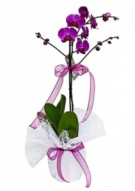 Tekli Mor Orkide  Kıbrıs çiçekçi telefonları