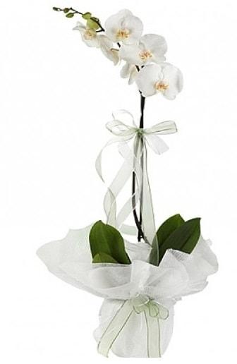 Tekli Beyaz Orkide  Kıbrıs çiçek siparişi sitesi