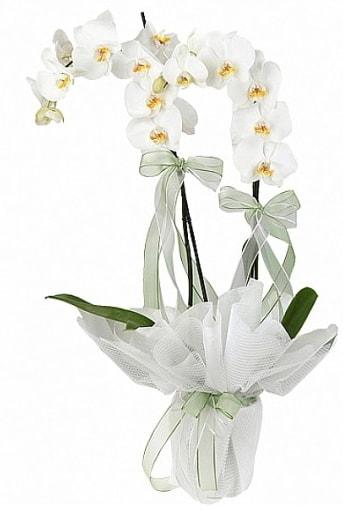 Çift Dallı Beyaz Orkide  Kıbrıs çiçek online çiçek siparişi