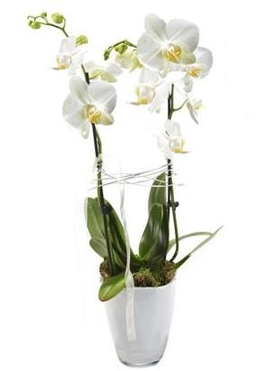 2 dallı beyaz seramik beyaz orkide saksısı  Kıbrıs çiçek gönderme