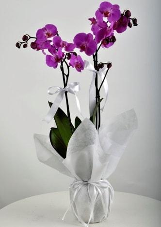 Çift dallı saksıda mor orkide çiçeği  Kıbrıs cicek , cicekci