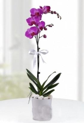 Tek dallı saksıda mor orkide çiçeği  Kıbrıs çiçek siparişi vermek