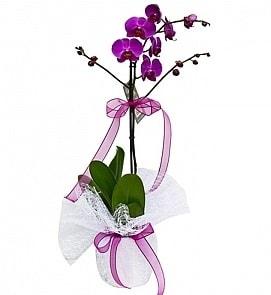 Tek dallı saksıda ithal mor orkide çiçeği  Kıbrıs çiçek siparişi vermek