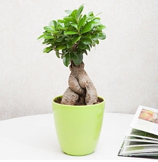 Ficus Ginseng Bonsai  Kıbrıs hediye sevgilime hediye çiçek