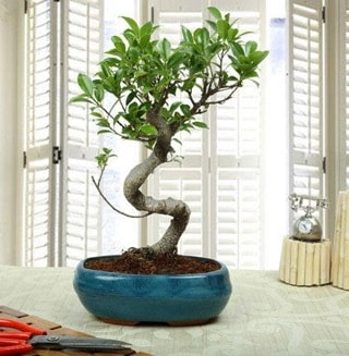 Amazing Bonsai Ficus S İthal  Kıbrıs online çiçek gönderme sipariş