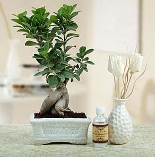 Ginseng ficus bonsai  Kıbrıs çiçek siparişi vermek