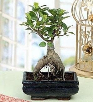Appealing Ficus Ginseng Bonsai  Kıbrıs çiçek online çiçek siparişi