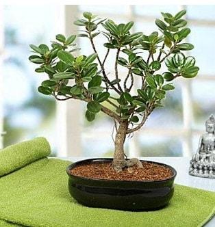 Lovely Ficus Iceland Bonsai  Kıbrıs çiçek online çiçek siparişi