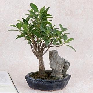 Japon ağacı Evergreen Ficus Bonsai  Kıbrıs çiçek gönderme