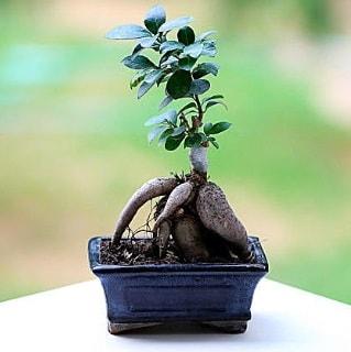 Marvellous Ficus Microcarpa ginseng bonsai  Kıbrıs cicek , cicekci