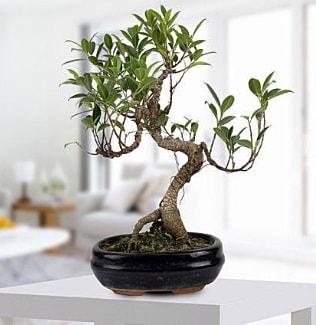 Gorgeous Ficus S shaped japon bonsai  Kıbrıs çiçek yolla , çiçek gönder , çiçekçi