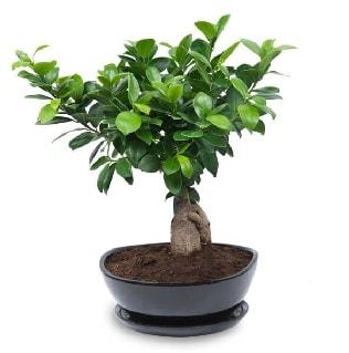 Ginseng bonsai ağacı özel ithal ürün  Kıbrıs internetten çiçek siparişi
