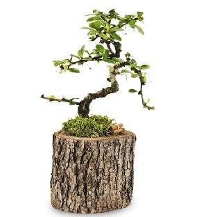 Doğal kütükte S bonsai ağacı  Kıbrıs ucuz çiçek gönder