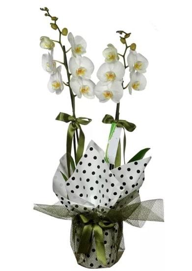 Çift Dallı Beyaz Orkide  Kıbrıs hediye sevgilime hediye çiçek