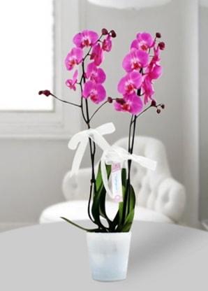 Çift dallı mor orkide  Kıbrıs çiçek siparişi vermek