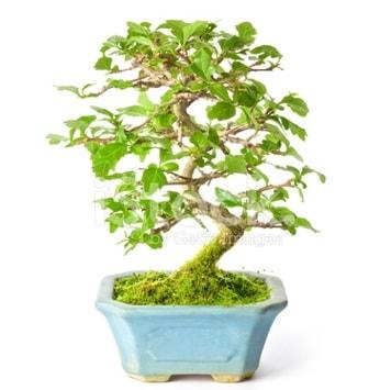 S zerkova bonsai kısa süreliğine  Kıbrıs çiçek yolla
