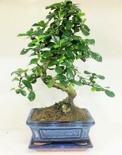 S Bonsai japon ağacı bitkisi  Kıbrıs anneler günü çiçek yolla