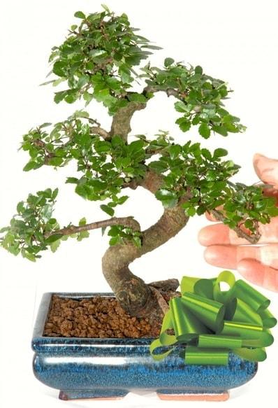Yaklaşık 25 cm boyutlarında S bonsai  Kıbrıs çiçekçiler