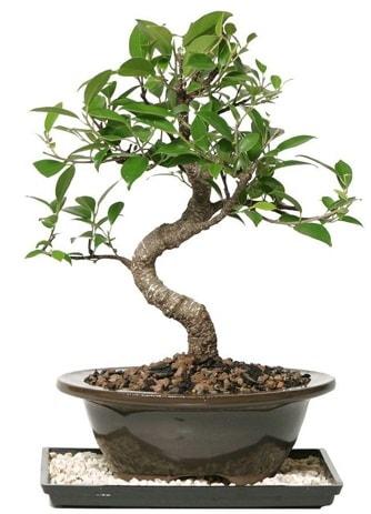 Altın kalite Ficus S bonsai  Kıbrıs çiçek , çiçekçi , çiçekçilik  Süper Kalite
