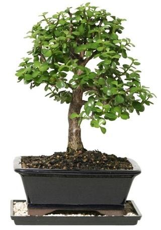 15 cm civarı Zerkova bonsai bitkisi  Kıbrıs çiçekçiler