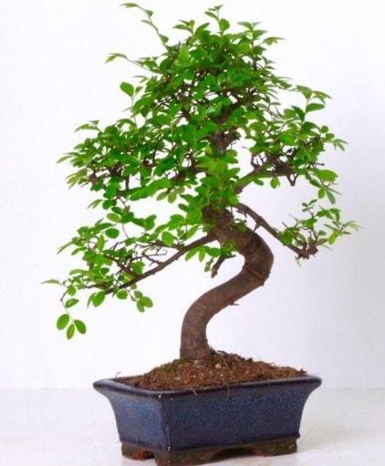 S gövdeli bonsai minyatür ağaç japon ağacı  Kıbrıs çiçek gönderme