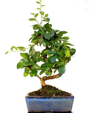S gövdeli carmina bonsai ağacı  Kıbrıs çiçekçi telefonları  Minyatür ağaç