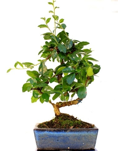 Bonsai Minyatür Ağaç Bonzai S Gövde  Kıbrıs internetten çiçek siparişi
