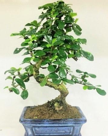 Zelkova S gövdeli Minyatür ağaç Bonzai  Kıbrıs çiçek satışı