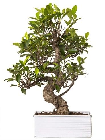 Exotic Green S Gövde 6 Year Ficus Bonsai  Kıbrıs çiçek gönderme