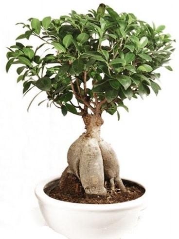 Ginseng bonsai japon ağacı ficus ginseng  Kıbrıs çiçek yolla